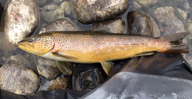Wild Brown Trout fishing with The Highland Angling Experience